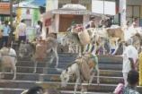 પાવાગઢ: 50 કિગ્રાથી વધુ વજન ગદર્ભ પર ન લાદવા માલિકોને સૂચના