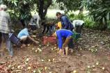 'વાયુ' બન્યું વેરી,વાવાઝોડાંની અસરથી કેરીના પાકને ભારે નુકસાન