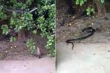 Video: અમરેલીના ખાંભામાં 8 ફૂટ લાંબા સાપ અને  નોળિયા વચ્ચે લડાઈ