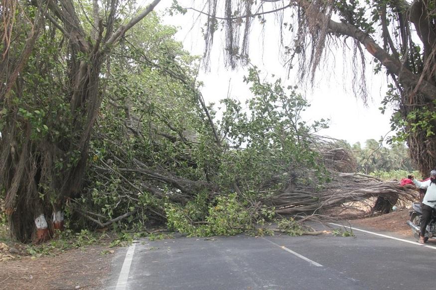 જુનાગઢમાં પણ વાયુની અસર વર્તાઇ હતી. જેના પગલે ભીમ કાય વૃક્ષ પણ ધરાશાયી થયું હતું.