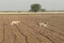 અમરેલીઃ ગરમીનો પારો વધતાં સિંહો અકળાયા, પાણી માટે રઝળપાટ