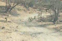 જૂનાગઢ ગીર જંગલ વિસ્તારના સિંહોનો અદ્દભૂત Video આવ્યો સામે