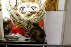 Video: સુરતના ભીમપોરમાં મંદિરમાં હનુમાનના દર્શન કરવા કપિરાજ આવે છે