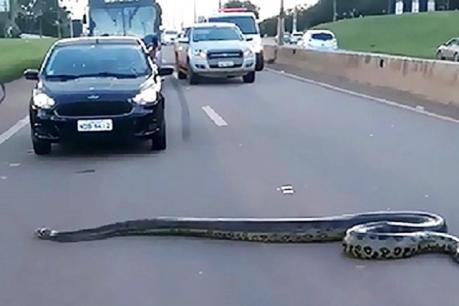 Video: રસ્તો પસાર કરી રહ્યો હતો 10 ફુટનો અજગર પછી થયુ આવું
