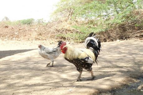 ગુજરાતમાં દેશી મરઘાની નવી જાત મળી; અધિકૃત માન્યતા મળશે